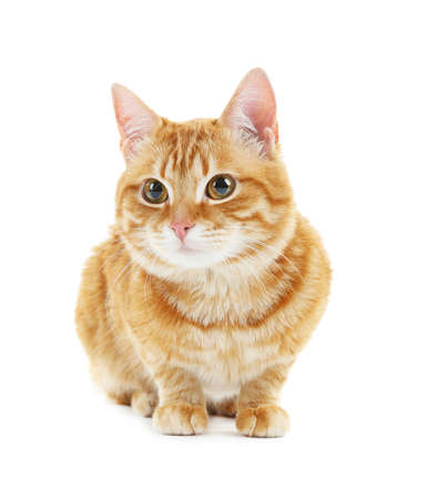 funny cat: Portrait of red cat isolated on white