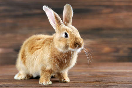 conejo: Pequeño conejo sobre fondo de madera