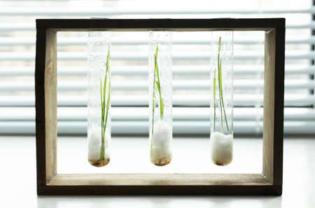 sprouted: Sprouted grains in glass test tubes on windowsill background