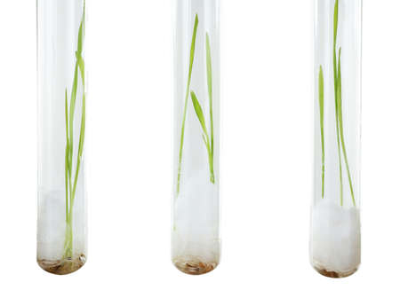 sprouted: Sprouted grains in glass test tubes isolated on white