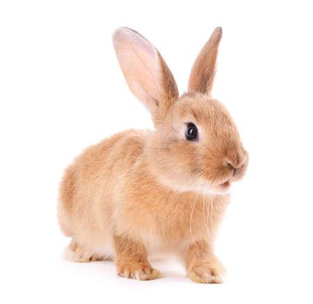 conejo: Conejo poco aislado en blanco Foto de archivo