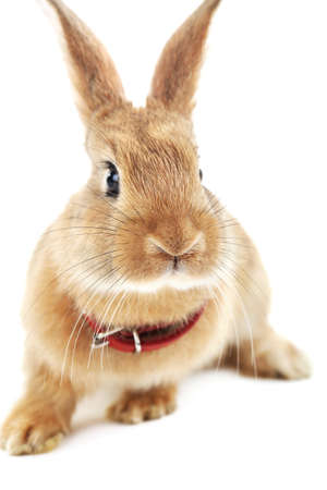 intrigued: Portrait of red rabbit isolated on white