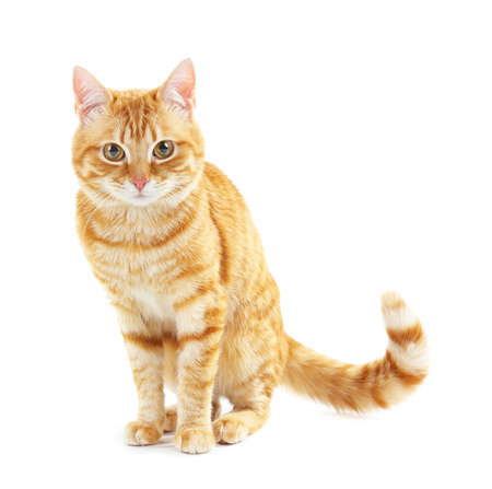 cat isolated: Portrait of red cat isolated on white