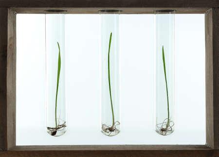 raíz de planta: Granos germinados en tubos de ensayo de vidrio aislados en blanco