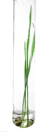 sprouted: Sprouted grains in glass test tube isolated on white
