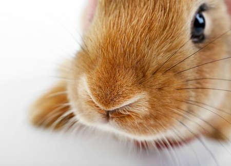 Portrait of red rabbit, closeup