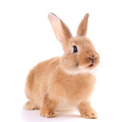 Conejo poco aislado en blanco