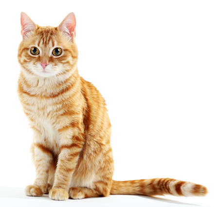 Portret van een rode kat op wit wordt geïsoleerd Stockfoto