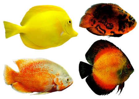 reeffish: Exotic fishes, isolated on white