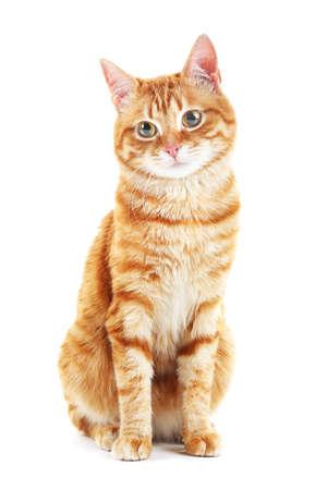 fondo blanco: Retrato de gato rojo aislado en blanco