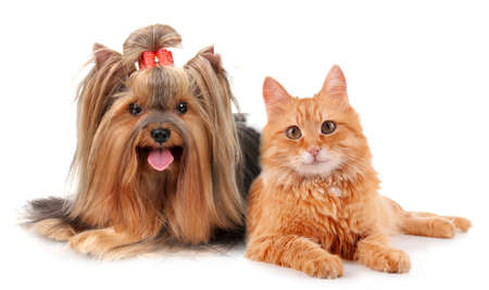 yorkie: Cute pets isolated on white Stock Photo