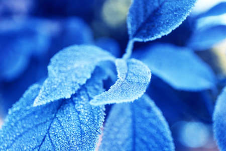 Beautiful frosty winter leaves on blured nature background, close up Stock Photo