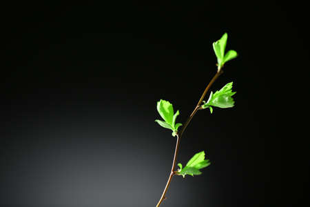 twig: Young foliage on twig, on grey background