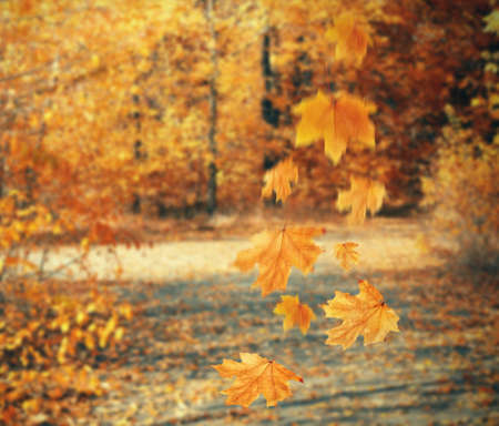 freefall: Autumnal park with falling maple leaves Stock Photo