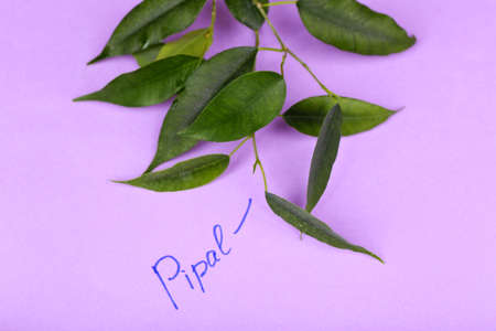 pipal: Green pipal twig with inscription on paper background