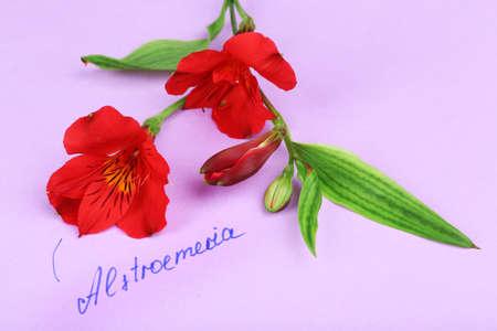 alstroemeria: Beautiful alstroemeria on paper background