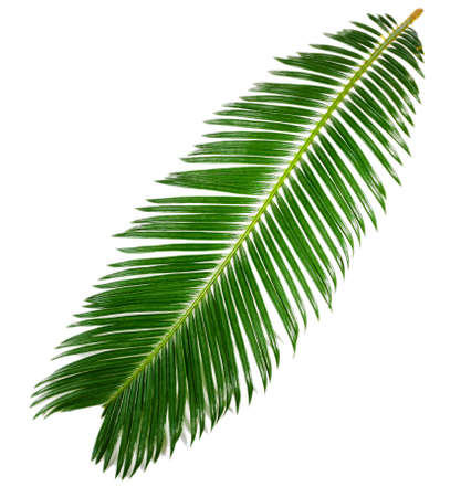 palm leaves: Green leaf of sago palm tree isolated on white