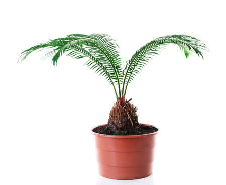 Green leaves of sago palm tree isolated on white