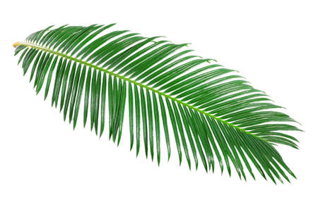 palm tree fruit: Green leaf of sago palm tree isolated on white