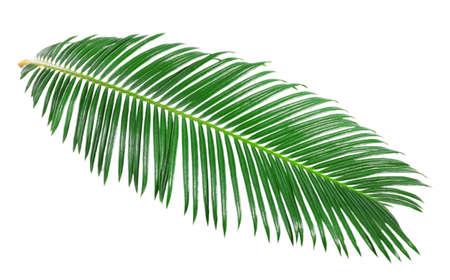 palmeras: Hoja verde de la palmera de sagú aislado en blanco