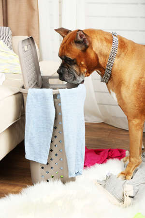 messy clothes: Dog demolishes clothes in messy room