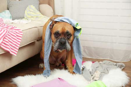 犬は、散らかった部屋で服を覆す 写真素材
