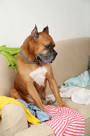 messy room: Dog in messy room, sitting on sofa, close-up Stock Photo