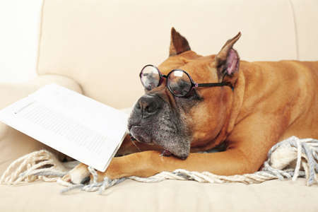 funny glasses: Cute dog in funny glasses and book lying on sofa, on home interior background Stock Photo