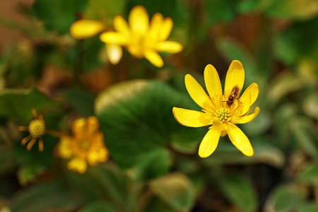 lesser: Lesser celandine flowers over flowerbed background