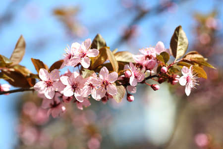 Cherry blossoms over blurred nature background, close up Stock Photo