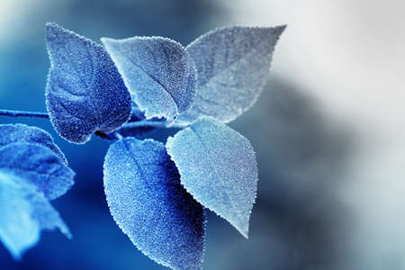 blured: Beautiful frosty winter leaves on blured nature background, close up Stock Photo