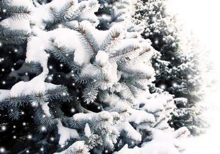 frost winter: Christmas fir trees with fresh natural snow, snowstorm