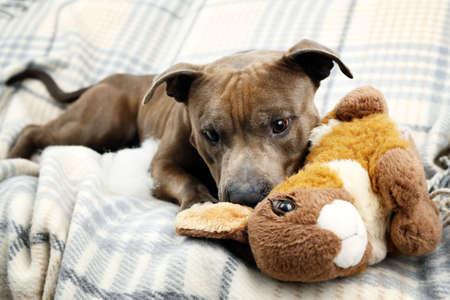 perros jugando: Perro con roto conejo de conejito de juguete en el fondo interior de una casa