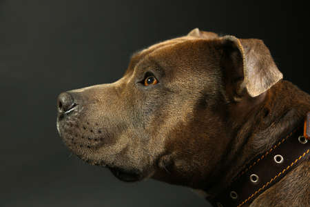 staffordshire: American Staffordshire Terrier, close-up, on dark background Stock Photo