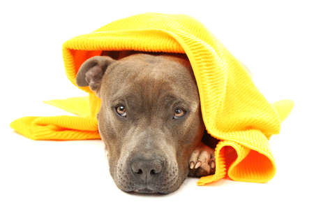 white towel: American Staffordshire Terrier with towel isolated on white