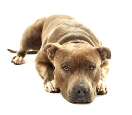 american staffordshire terrier: American Staffordshire Terrier isolated on white Stock Photo