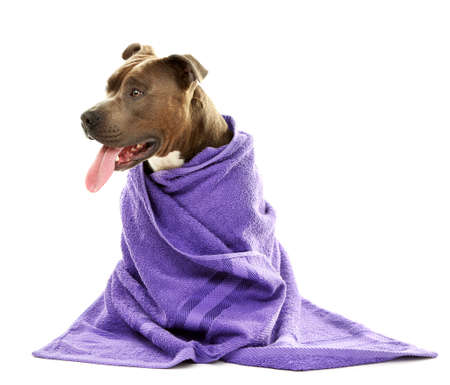 bath: American Staffordshire Terrier with towel isolated on white