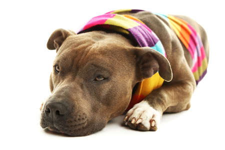american staffordshire terrier: American Staffordshire Terrier with colorful scarf isolated on white Stock Photo