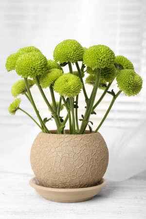 windowsill: Beautiful chrysanthemum in pot on windowsill Stock Photo