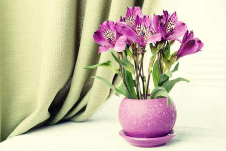 alstroemeria: Beautiful alstroemeria in pot on windowsill