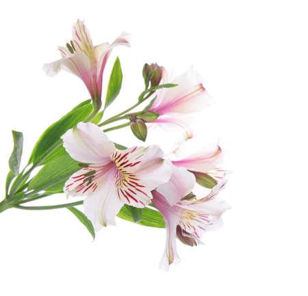alstroemeria: Beautiful alstroemeria isolated on white