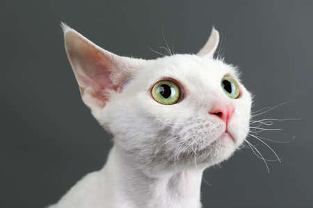pussy cat: Beautiful white cat on gray background