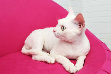pink pussy: Beautiful white cat on soft pink armchair in room