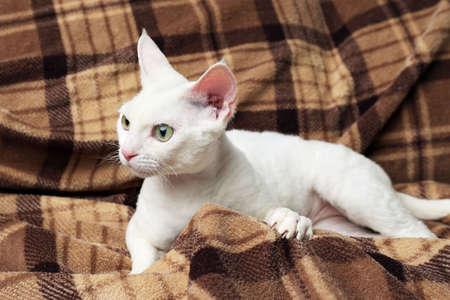 frisky: Beautiful white cat on plaid Stock Photo