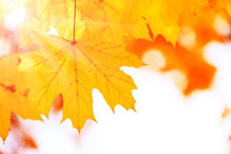 golden dusk: Beautiful autumn maple leaves on tree in park