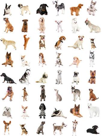 breeds: Large group of dog breeds, isolated on white