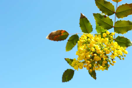 blossoming yellow flower tree: Beautiful green twig with yellow flowers on blue sky background