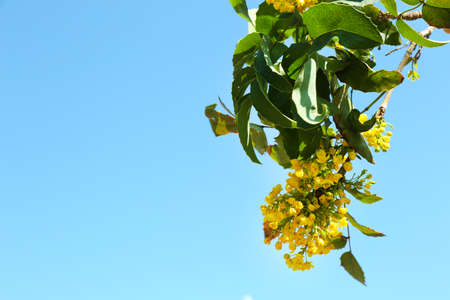 blue green background: Beautiful green twig with yellow flowers on blue sky background