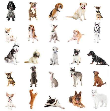 large dog: Large group of dog breeds, isolated on white