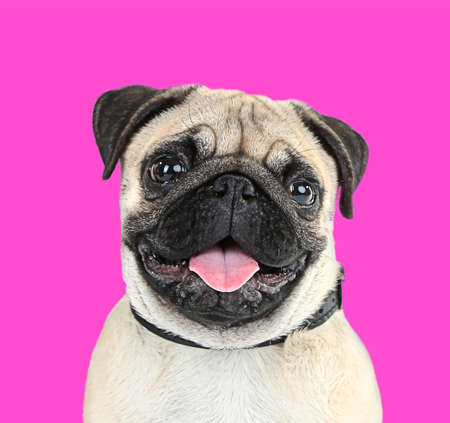 bright colors: Funny, cute and playful pug dog on pink background Stock Photo